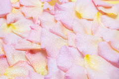 Rose petals with water drops background Stock Photography