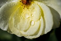 Rose petals with water drops on it. Beautiful colorful Rose petals with water drops on it Stock Photo