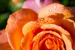 Rose petals with water drops on it. Beautiful colorful Rose petals with water drops on it Royalty Free Stock Images