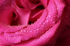 Rose-petals with water drops Stock Photography