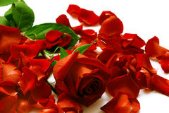Rose and petals on a white Stock Photography