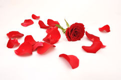 Rose and petals on white background Stock Images