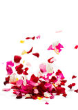 Rose petals. On white background stock image
