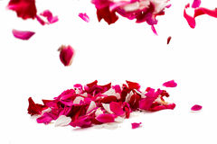 Rose petals. On white background stock photography