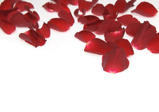 Rose petals on white background Royalty Free Stock Image