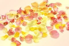 Rose petals on white background stock photography
