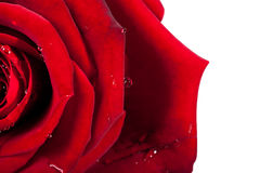 Rose and petals on white background. Red rose head on macro with small drops of water. Stock Photos