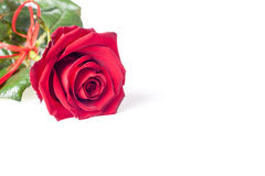 Rose and petals on white background. Red rose head on macro with small drops of water. Stock Images