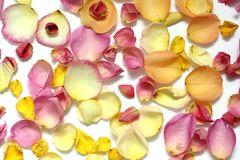 Rose petals on a white background stock image