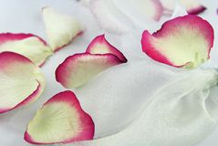 Rose petals on white organza fabric Royalty Free Stock Photo