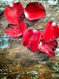 Rose petals. Royalty Free Stock Photo