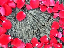Rose Petals on Wooden  Royalty Free Stock Images
