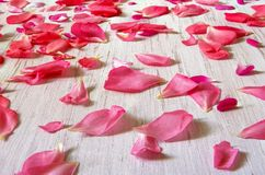 Rose petals on wooden background,white wooden table with pink rose petals royalty free stock photos