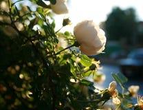 Rose petite Sauvage s'est levé sur un fond de soleil lumineux Photographie stock libre de droits