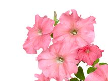Rose petunias Stock Photography