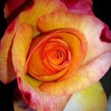 Rose peut changer d'avis Images libres de droits