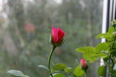 Rose. Photo a rose Stock Image