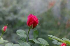 Rose. Photo a rose closeup Stock Image