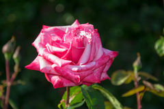 Rose. Photo of a countess sonja rose royalty free stock images