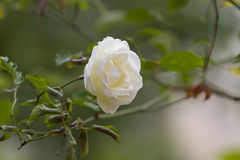 Rose. Photo of plant in the garden Stock Image
