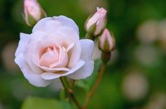 Rose a photographié en parc I Photographie stock libre de droits