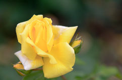 Rose a photographié en parc II Photos stock