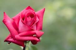 Rose a photographié en parc IV Photographie stock libre de droits