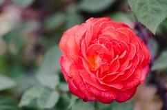 Rose a photographié en parc III Photo stock