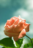 rose piękności Fotografia Stock