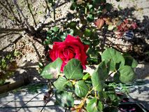 rose piękna Zdjęcia Royalty Free