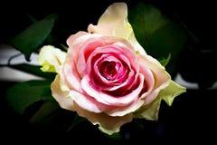 rose piękna Obrazy Stock