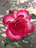 rose piękna Fotografia Royalty Free