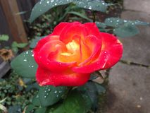 rose piękna obraz stock