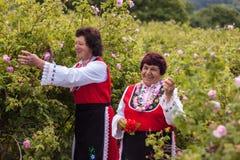 Rose picking festival Stock Photos