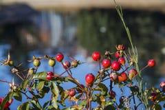 rose pies Zdjęcie Royalty Free