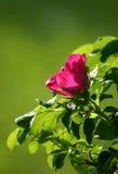 rose pies Zdjęcia Stock