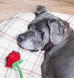 Rose on the pillow Stock Images