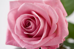 Rose pink Royalty Free Stock Image