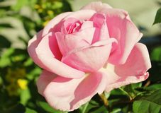 Rose. A pink rose Stock Photography