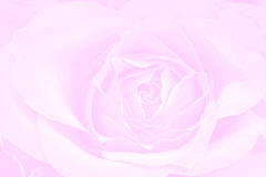 Rose pink background. Texture postcard Stock Images