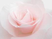 Rose pink Royalty Free Stock Photo
