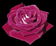 Rose pink on the black isolated background with clipping path.  Closeup. Side view. Stock Photo