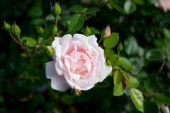 Rose Pink Stock Photos