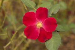 Rose Pink Stock Image