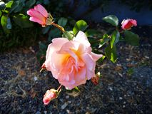 Rose in pink blossom stock photography