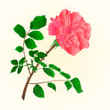 Rose pink blossoms stem with leaves vector Royalty Free Stock Photo