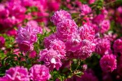 Rose pink Bonica `Meidomonac`, Rosaceae Stock Photo