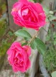 Rose. Pink rose cantik royalty free stock image