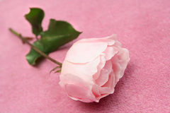 Rose on Pink Carpet Stock Photo