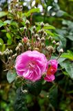Rose Pink color royalty free stock image